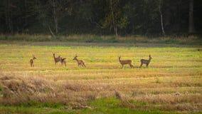 Cervos de ovas que estão dispersados em um campo Imagem de Stock Royalty Free