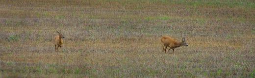 2 cervos de ovas que estão em um campo Foto de Stock Royalty Free