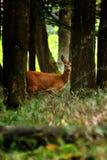 Cervos de ovas que estão na floresta fotos de stock