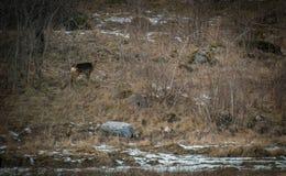 Cervos de ovas que levantam no monte Imagem de Stock