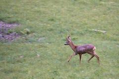 Cervos de ovas running imagem de stock royalty free