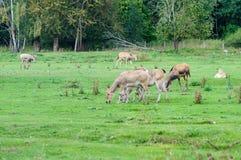 Cervos de Pуre David (davidianus do Elaphurus) imagens de stock