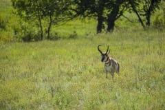Cervos de Pronghorn Foto de Stock