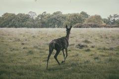 Cervos de refrigeração Fotografia de Stock Royalty Free