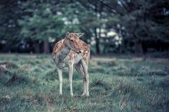 Cervos de refrigeração Fotografia de Stock