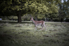Cervos de refrigeração Foto de Stock