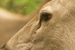 Cervos de Samber do close up Foto de Stock