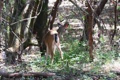 Cervos de Shiloh Ranch Regional California Imagens de Stock
