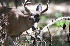 Cervos de Shiloh Ranch Regional California Foto de Stock Royalty Free