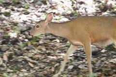 Cervos de Shiloh Ranch Regional California Foto de Stock