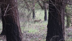 Cervos de Shiloh Ranch Regional California O parque inclui as florestas do carvalho, florestas de evergreens misturados vídeos de arquivo