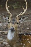 Cervos de Sika Imagens de Stock Royalty Free