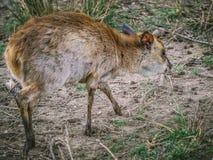 Cervos de Sika fotos de stock