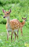 Cervos de Sika Fotografia de Stock