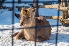 Cervos de Sika fotos de stock royalty free