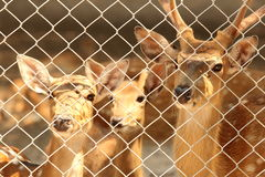Cervos de Sika fotografia de stock royalty free