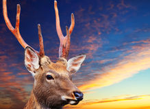 Cervos de Sika contra o céu do por do sol Fotografia de Stock