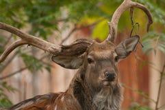 Cervos de Sika do mandarino Imagem de Stock