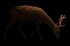 Cervos de Sika na obscuridade Fotografia de Stock Royalty Free