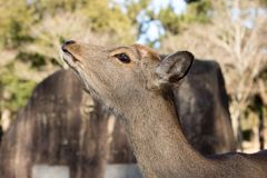 Cervos de Sika, Nara Park, Japão Imagens de Stock Royalty Free