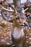 Cervos de Sika que olham me! -3 Foto de Stock