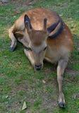Cervos de Sika foto de stock royalty free