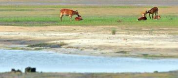 Cervos de Sike Imagens de Stock Royalty Free