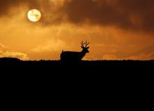 Cervos de Skylined na caça foto de stock