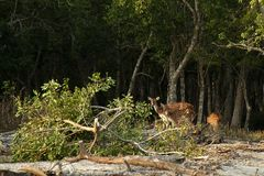 Cervos de Sundarban Fotos de Stock