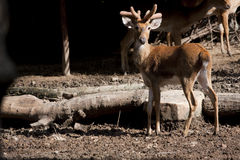 Cervos de Tailândia Foto de Stock Royalty Free