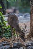 Cervos de vagueamento Fotos de Stock