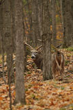 Cervos de Whitetail Imagem de Stock