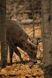 Cervos de Whitetail Imagens de Stock