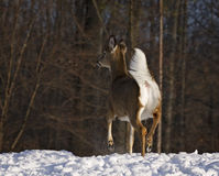 Cervos de Whitetail Imagem de Stock Royalty Free