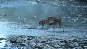 Cervos de Whitetail video estoque