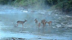 Cervos de Whitetail vídeos de arquivo