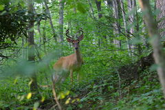 Cervos de Whitetail Antlered no veludo Imagem de Stock