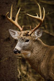 Cervos de Whitetail Buck Fall Rut Imagem de Stock Royalty Free