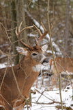 Cervos de Whitetail Buck Fall Rut Fotografia de Stock Royalty Free