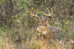 Cervos de Whitetail Buck Rut Foto de Stock Royalty Free