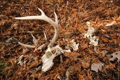 Cervos de Whitetail Buck Skeleton Antlers Foto de Stock