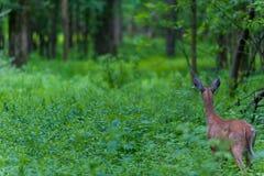 Cervos de Whitetail de atrás Imagens de Stock