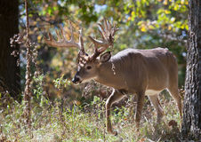 Cervos de Whitetail do troféu imagem de stock
