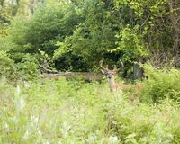 Cervos de Whitetail do verão Fotografia de Stock Royalty Free