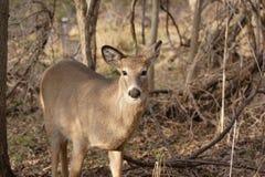 Cervos de Whitetail fêmeas nas madeiras Fotografia de Stock