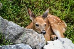 Cervos de Whitetail Fawn Looking do bebê em você Imagem de Stock Royalty Free