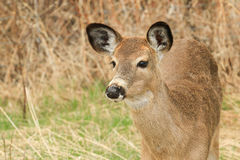 Cervos de Whitetail Fawn Portrait Foto de Stock Royalty Free