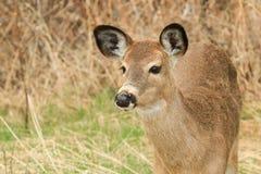Cervos de Whitetail Fawn Portrait Foto de Stock Royalty Free