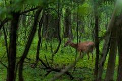 Cervos de Whitetail na floresta Fotos de Stock Royalty Free
