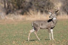 Cervos de Whitetail na opinião do perfil fotografia de stock